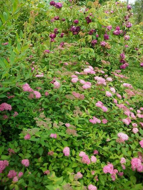 Le jardin en rose ! Spiree10