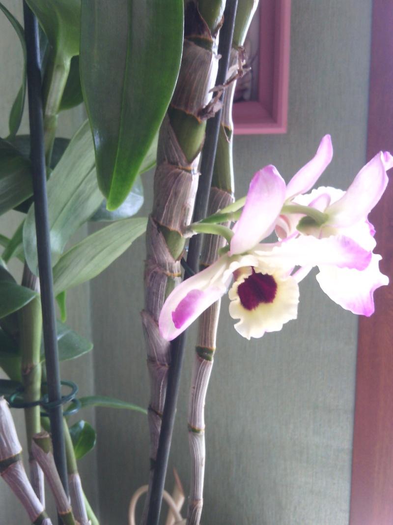 mon Dendrobium Img_2012