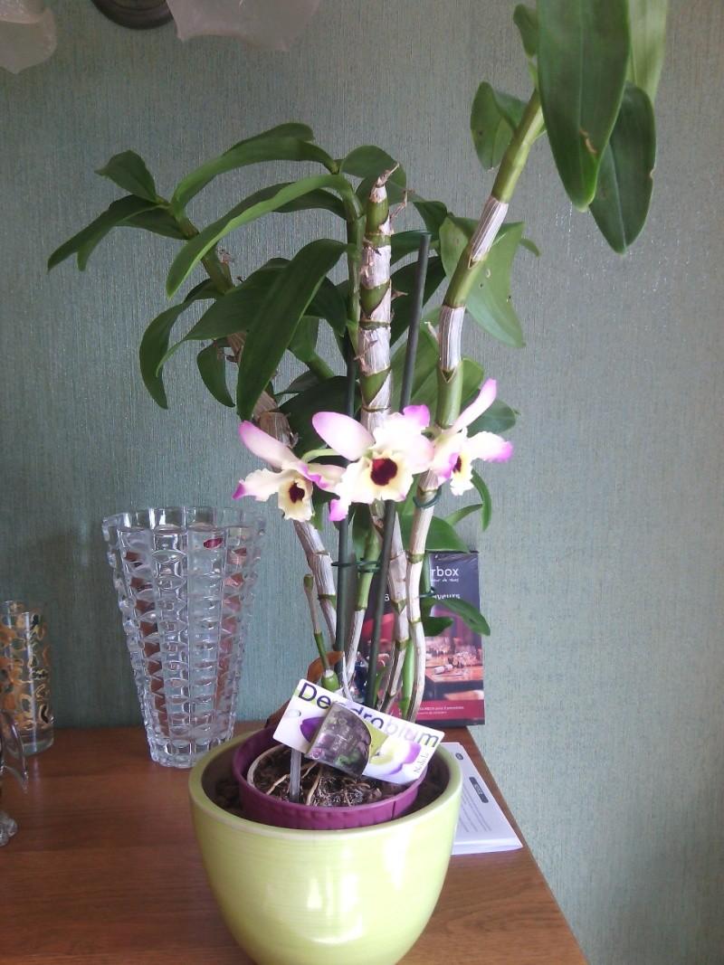mon Dendrobium Img_2013