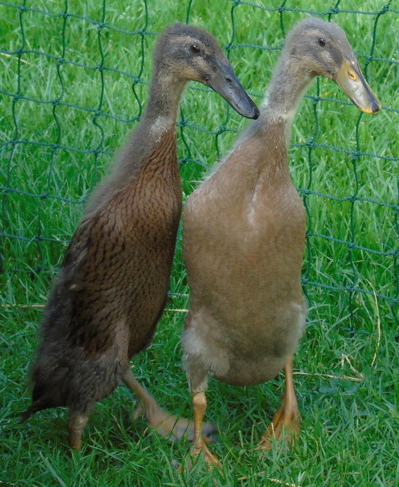 Runner Ducks Huey_a14