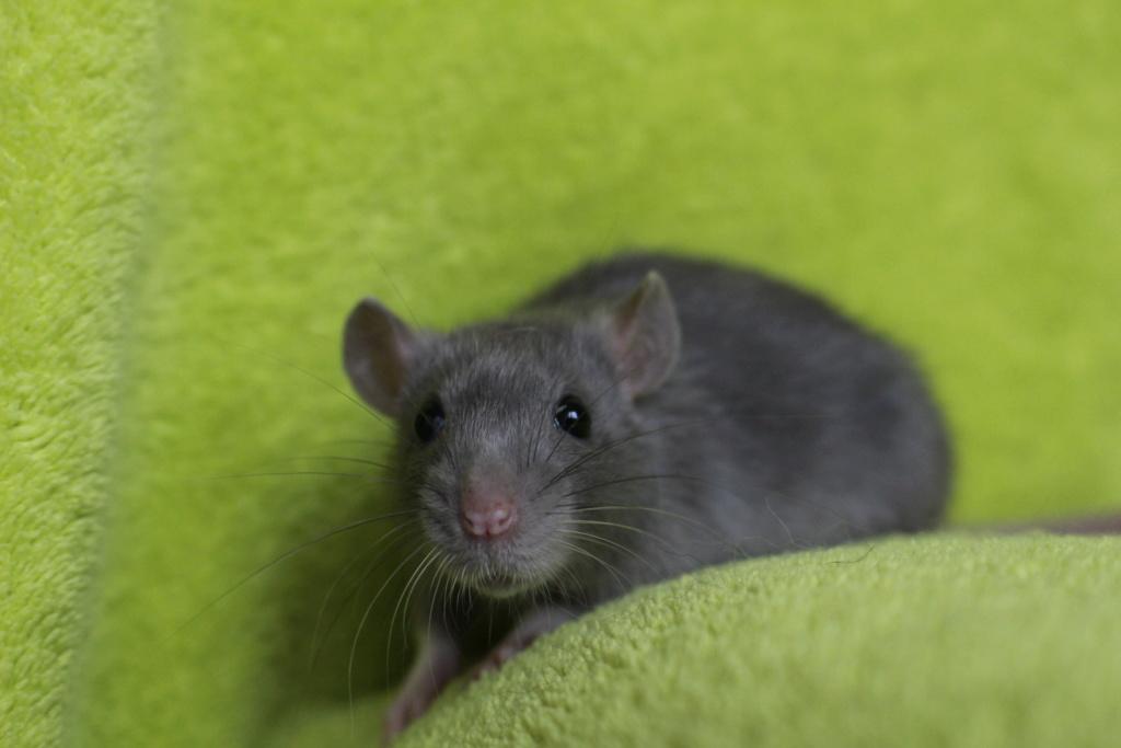 2 ratons à l'adoption <3 Img_5814