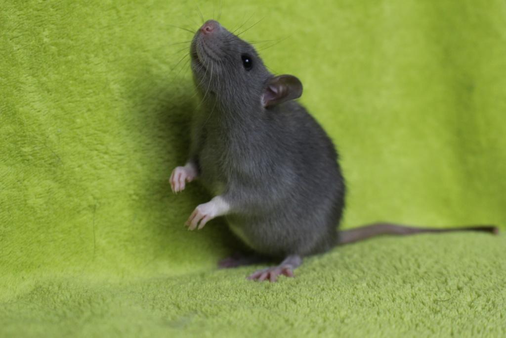 2 ratons à l'adoption <3 Img_5815