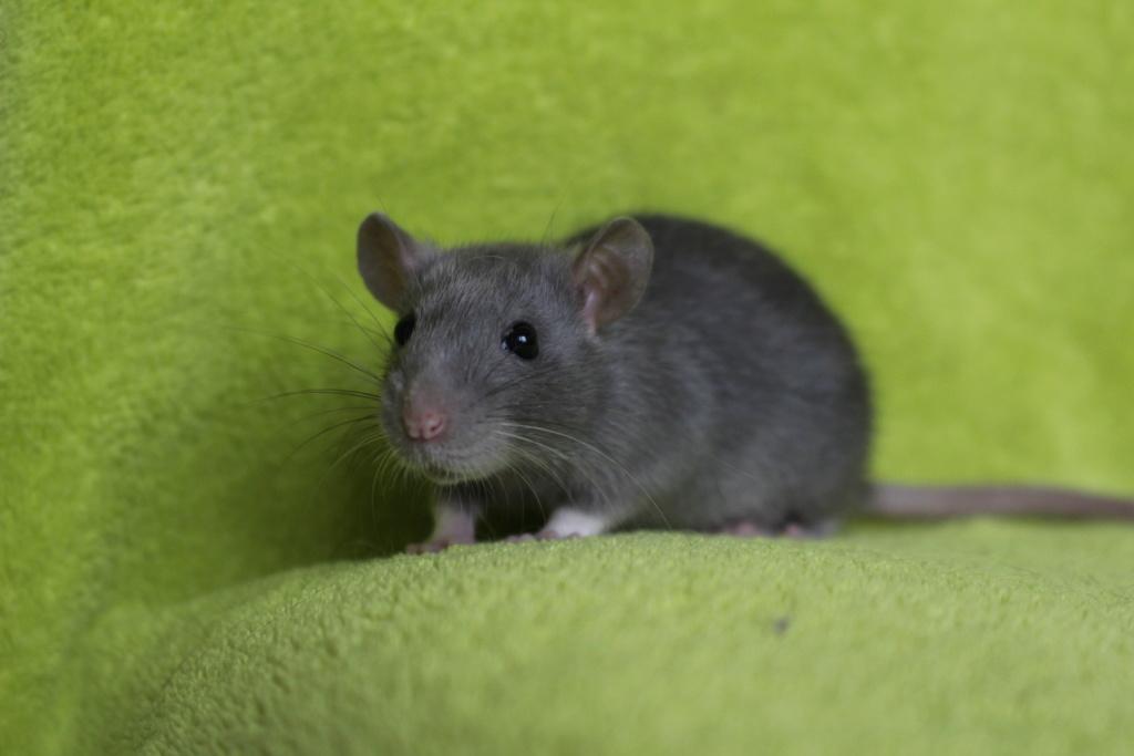 2 ratons à l'adoption <3 Img_5816