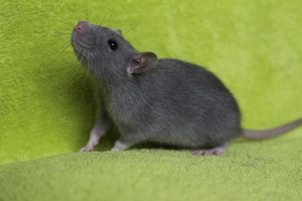 2 ratons à l'adoption <3 Img_5818