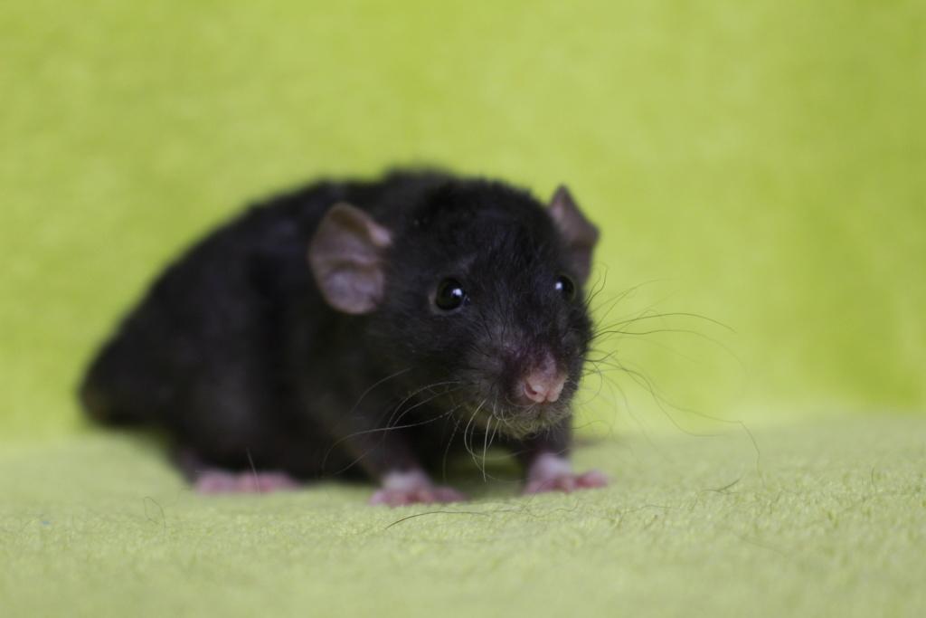 2 ratons à l'adoption <3 Img_5819