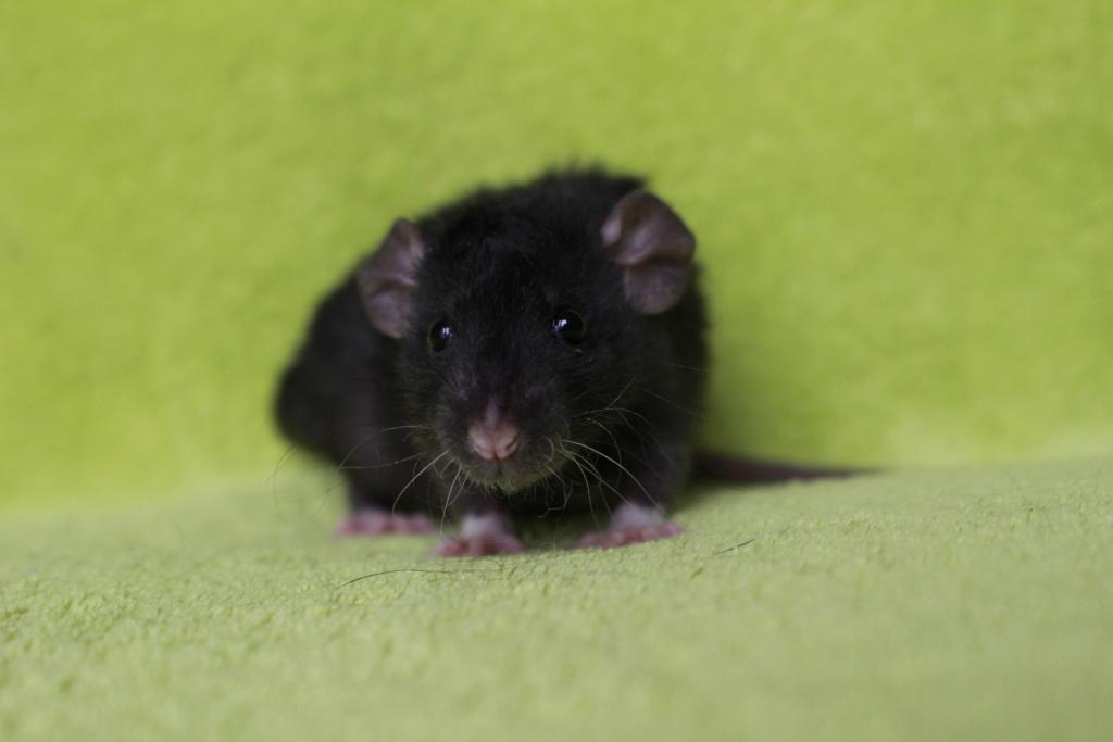 2 ratons à l'adoption <3 Img_5821