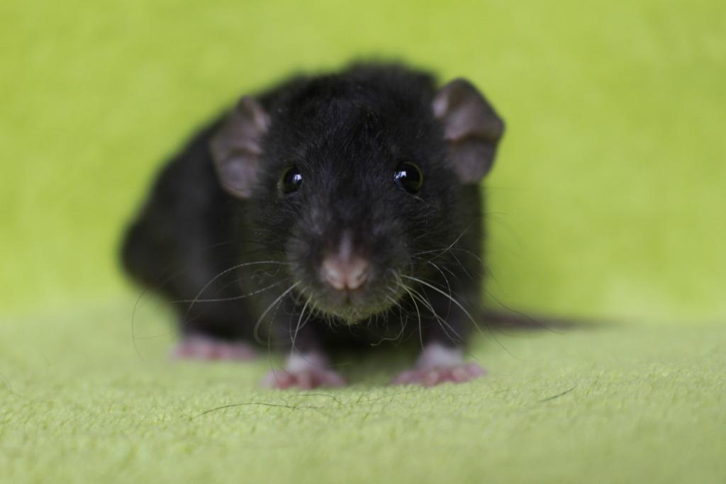 2 ratons à l'adoption <3 Img_5822