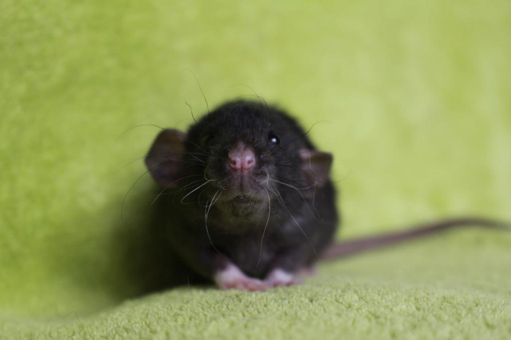 2 ratons à l'adoption <3 Img_5823