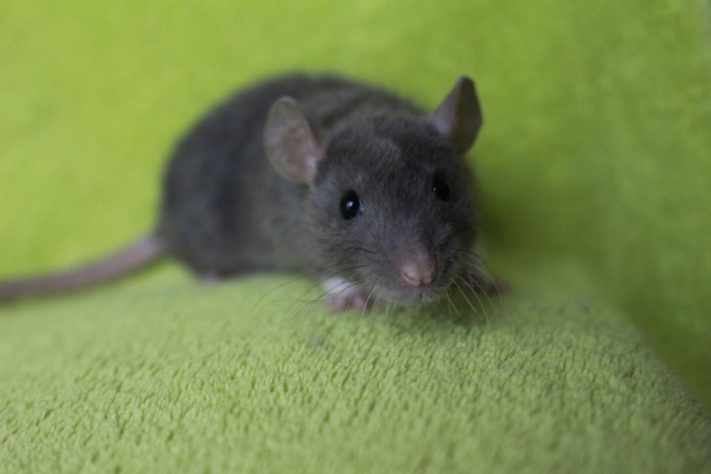 2 ratons à l'adoption <3 Img_5824