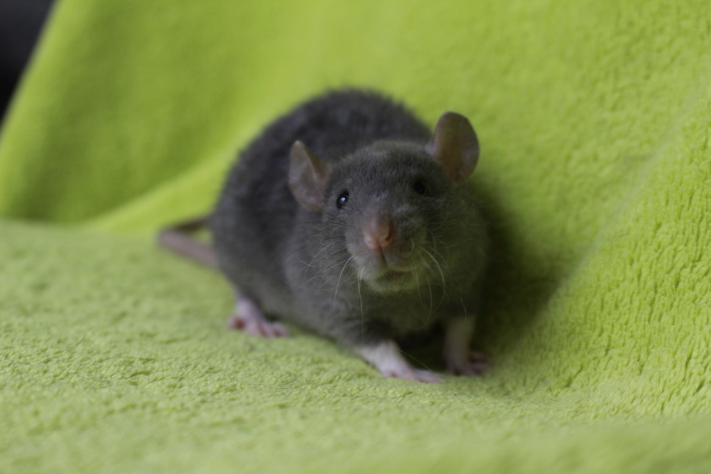 2 ratons à l'adoption <3 Img_5911