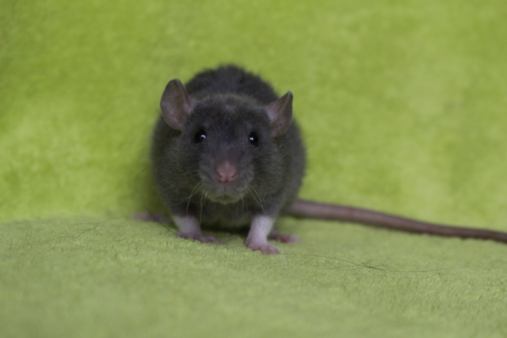 2 ratons à l'adoption <3 Img_5912