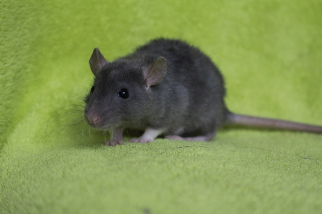 2 ratons à l'adoption <3 Img_5913