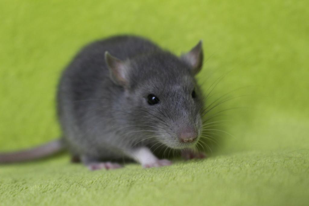2 ratons à l'adoption <3 Img_5914