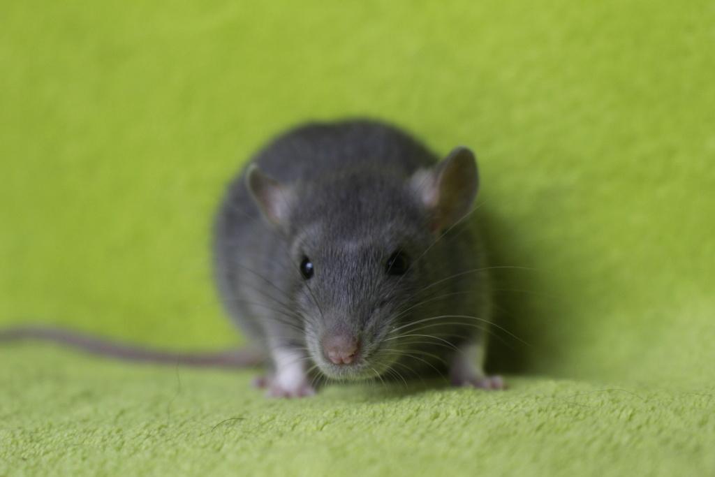 2 ratons à l'adoption <3 Img_5915