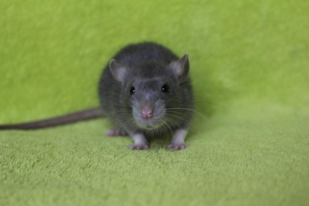 2 ratons à l'adoption <3 Img_5916