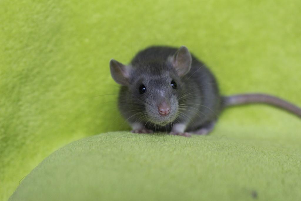 2 ratons à l'adoption <3 Img_5917