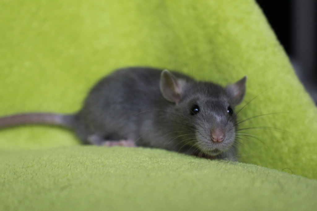 2 ratons à l'adoption <3 Img_5918