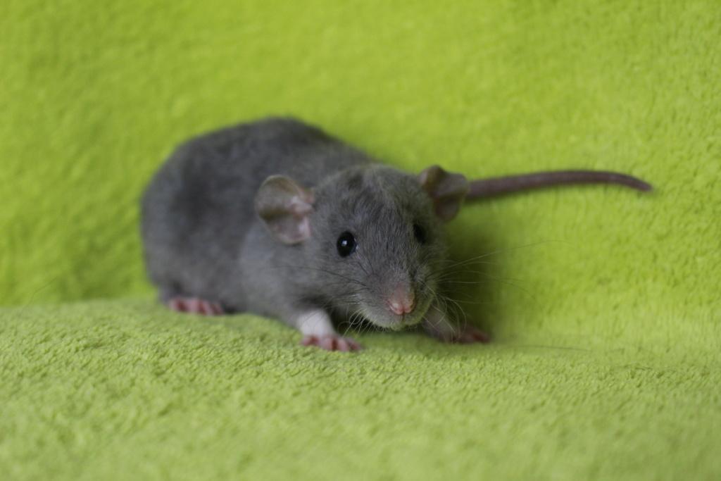 2 ratons à l'adoption <3 Img_6010