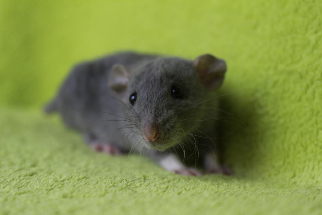 2 ratons à l'adoption <3 Img_6011