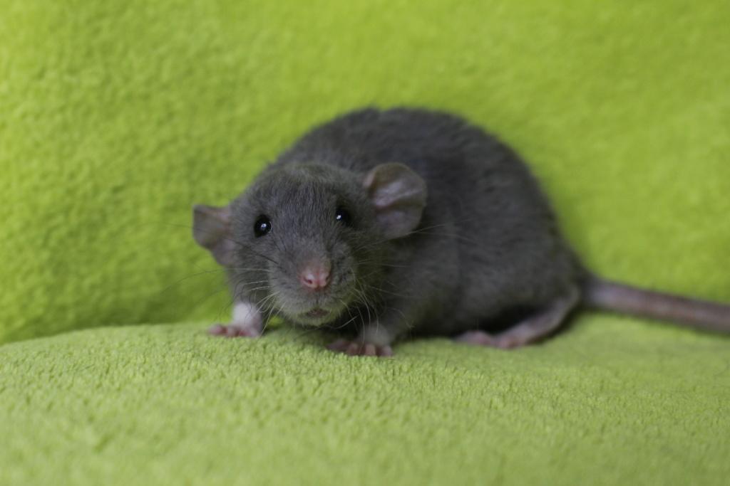 2 ratons à l'adoption <3 Img_6012