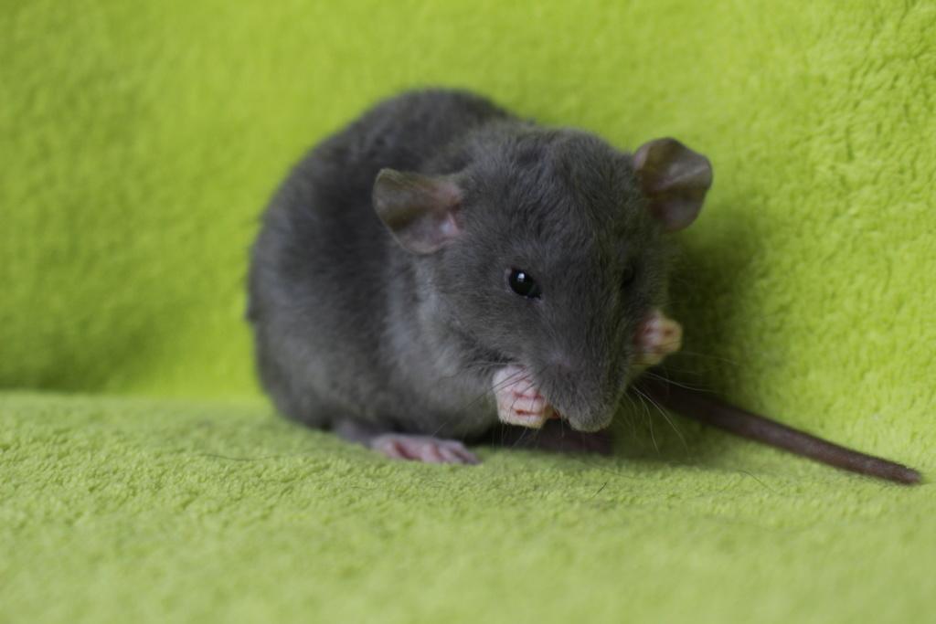 2 ratons à l'adoption <3 Img_6013