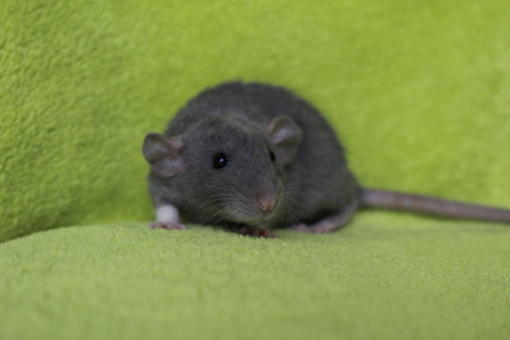 2 ratons à l'adoption <3 Img_6014