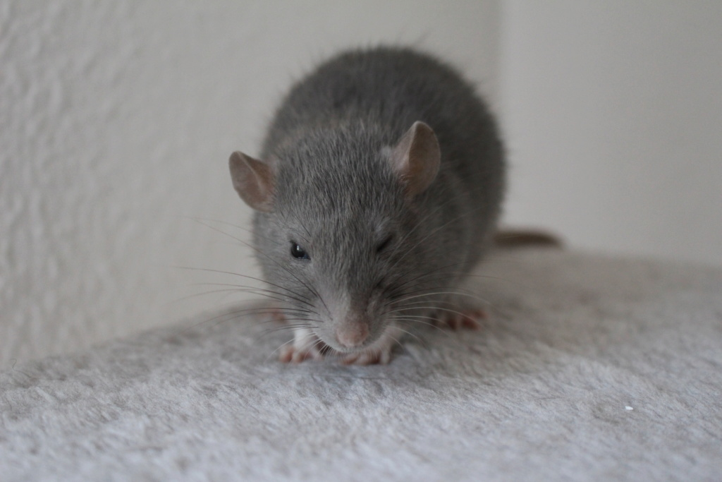 2 ratons à l'adoption <3 Img_6015