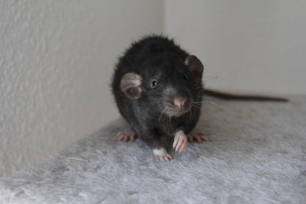 2 ratons à l'adoption <3 Img_6017