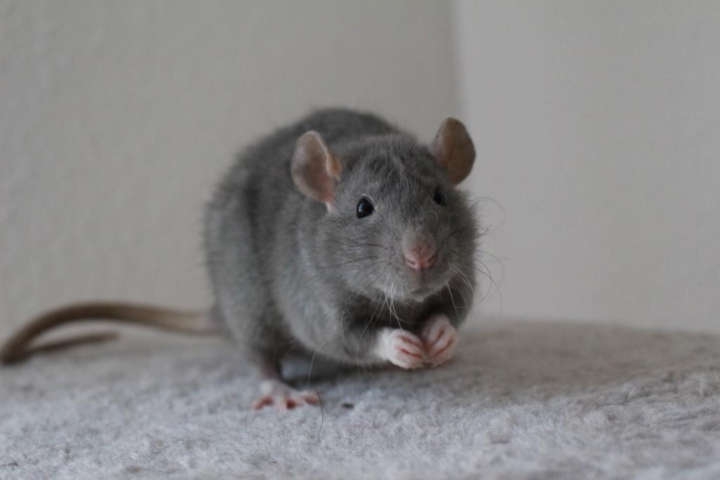 2 ratons à l'adoption <3 Img_6018