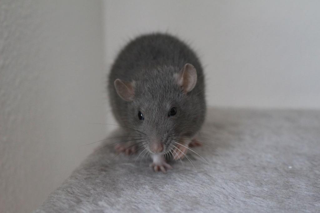 2 ratons à l'adoption <3 Img_6019