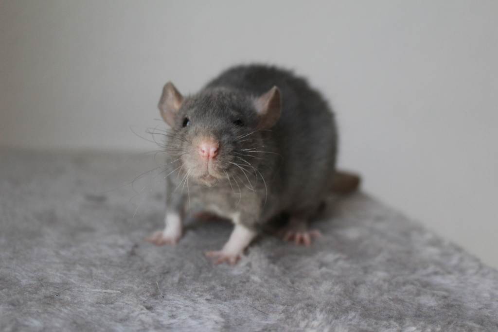 2 ratons à l'adoption <3 Img_6110