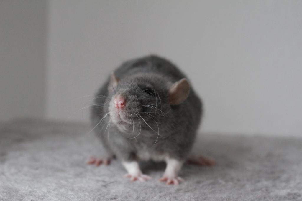 2 ratons à l'adoption <3 Img_6111