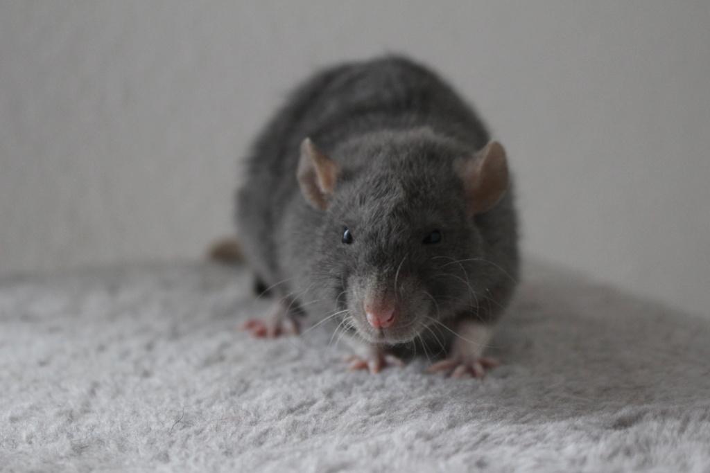 2 ratons à l'adoption <3 Img_6112