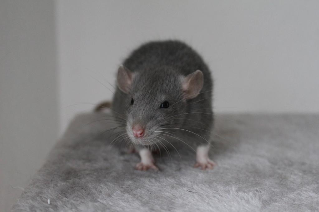 2 ratons à l'adoption <3 Img_6113