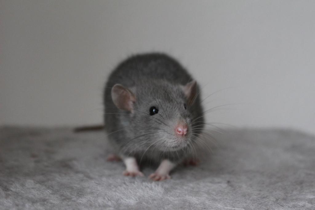 2 ratons à l'adoption <3 Img_6114
