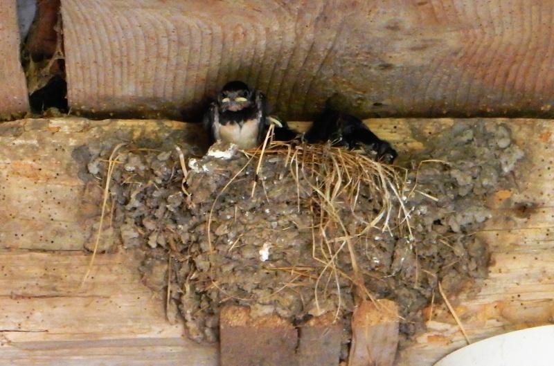 Des locataires saisonniers : hirondelle rustique/ H. rustica Dscn5612
