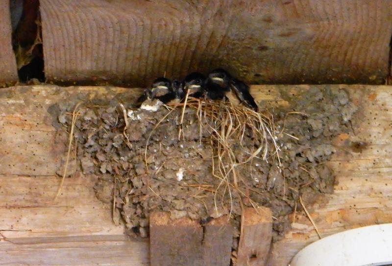 Des locataires saisonniers : hirondelle rustique/ H. rustica Dscn5613