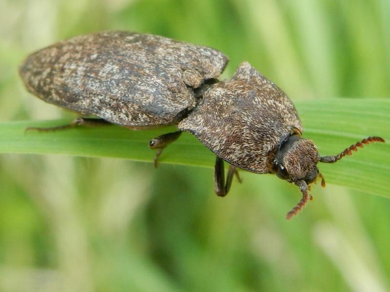 Agrypnus murinus Linné 1758 Taupin Rscn5210