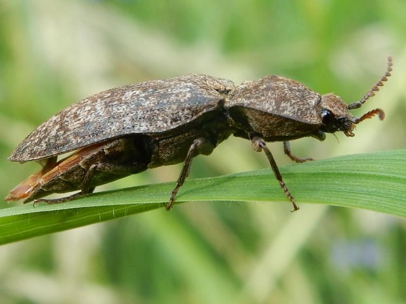 Agrypnus murinus Linné 1758 Taupin Rscn5211