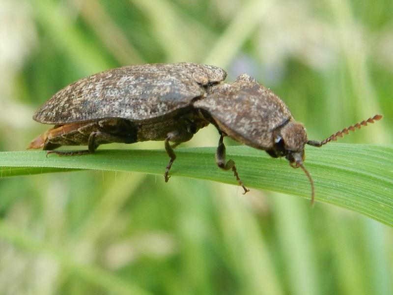 Agrypnus murinus Linné 1758 Taupin Rscn5212