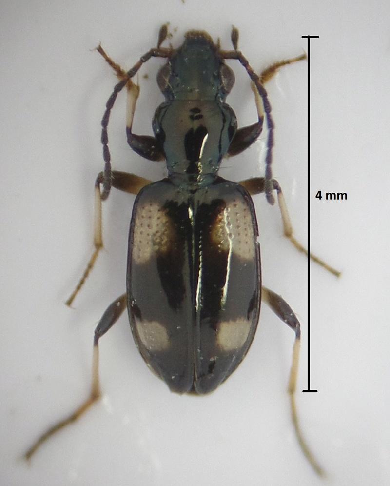 Bembidion (Nepha) genei Bembid14