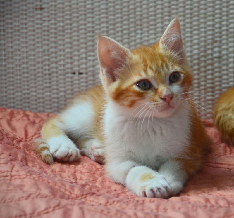 moise - Moïse-chaton tigré roux et blanc-né le 15/03/2016 1dsc_813