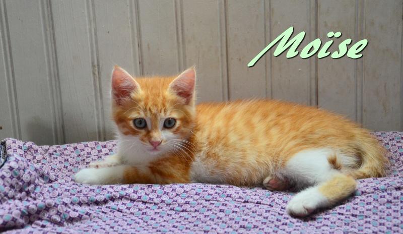 moise - Moïse-chaton tigré roux et blanc-né le 15/03/2016 2dsc_810