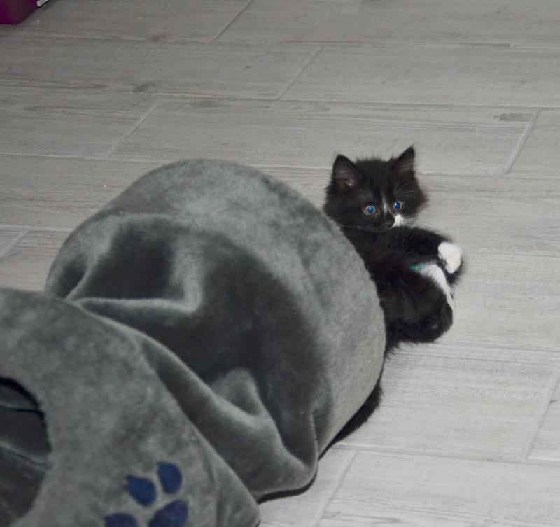mamour - Mamour-chaton noir et blanc angora- né en mai 2016 Dsc_8419
