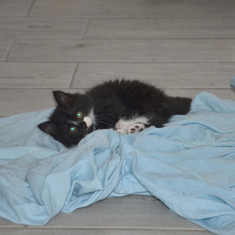 mamour - Mamour-chaton noir et blanc angora- né en mai 2016 Dsc_8516
