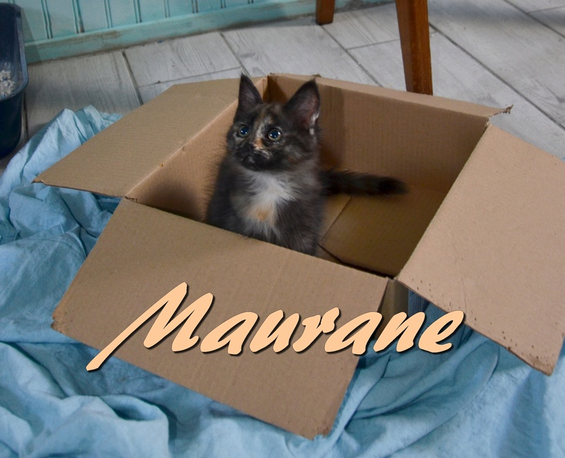maurane - Maurane-chatonne écaille poils longs-née le 06/05/2016 Dsc_8622