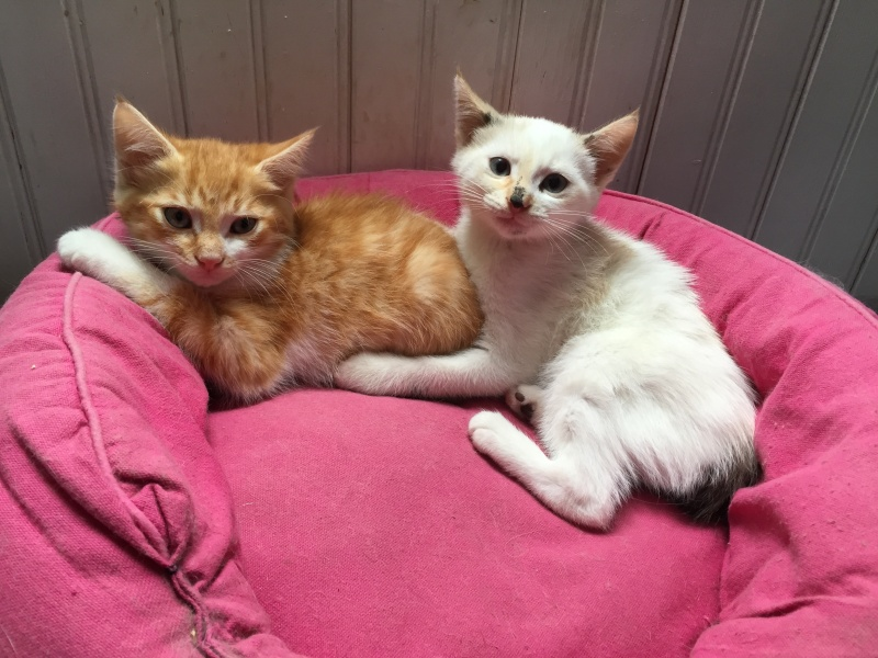 moise - Moïse-chaton tigré roux et blanc-né le 15/03/2016 Img_0210
