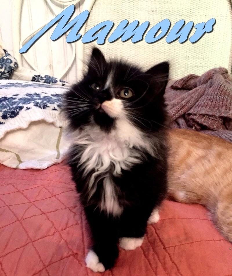 mamour - Mamour-chaton noir et blanc angora- né en mai 2016 Img_0834