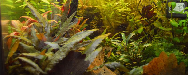 Ambrer l'aquarium / ajout feuilles Dsc_0019