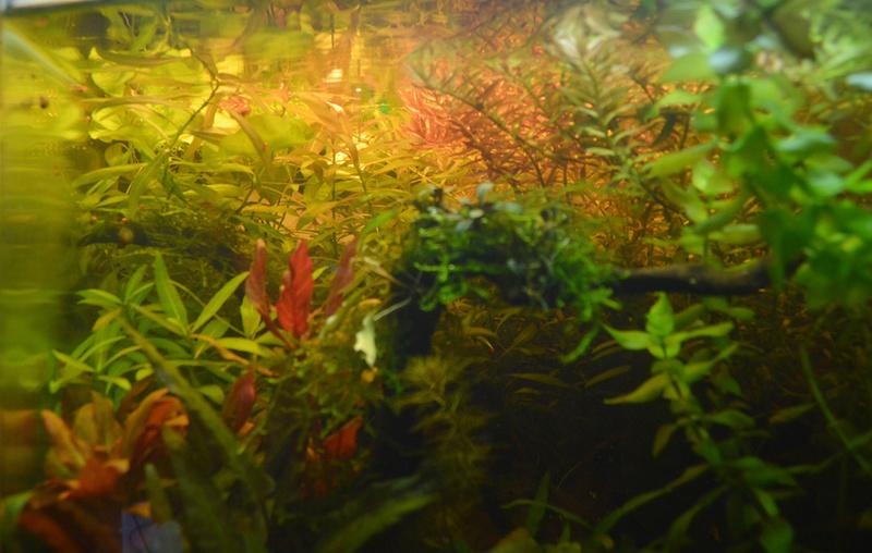 Ambrer l'aquarium / ajout feuilles Dsc_0020